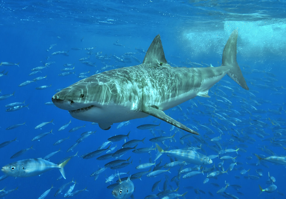 A great white shark in Australia