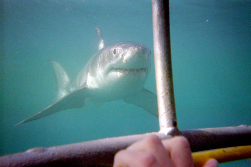 Cage view of a great white shark