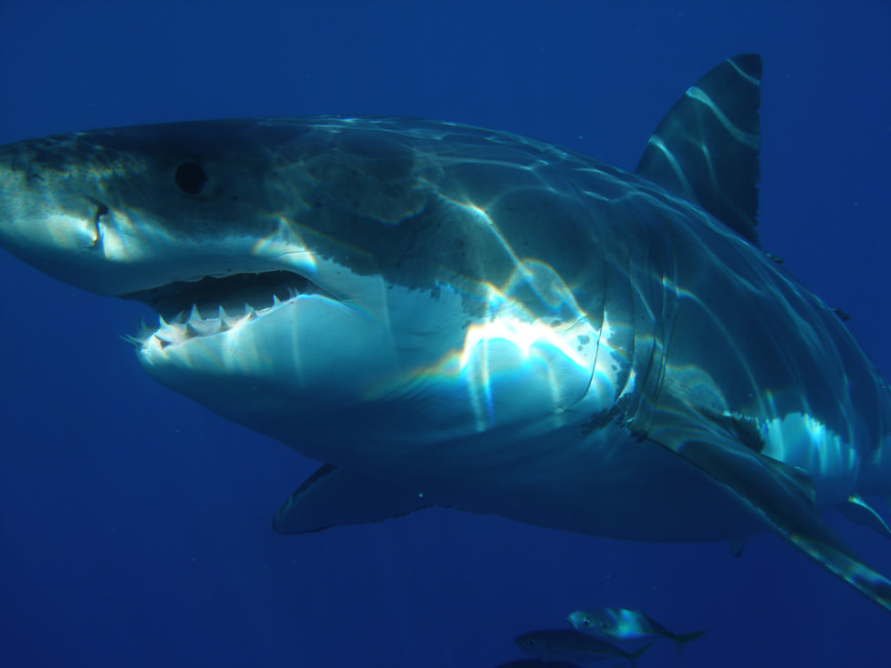 A great white shark from Guadalupe