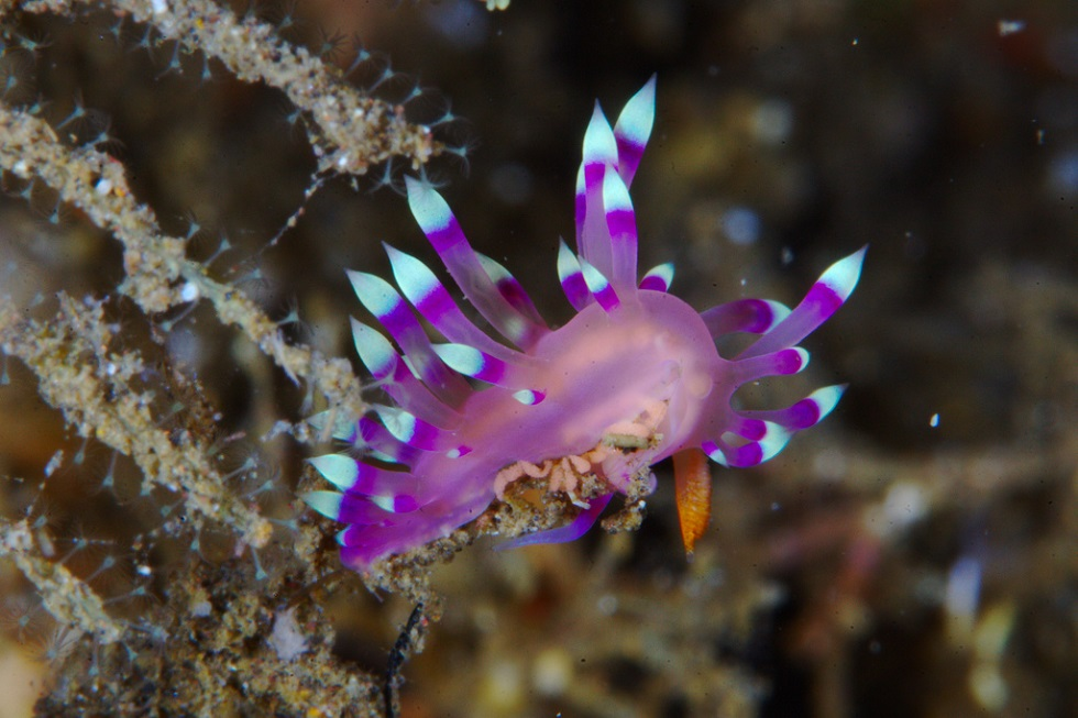 Indonesia Purple Nudibranch