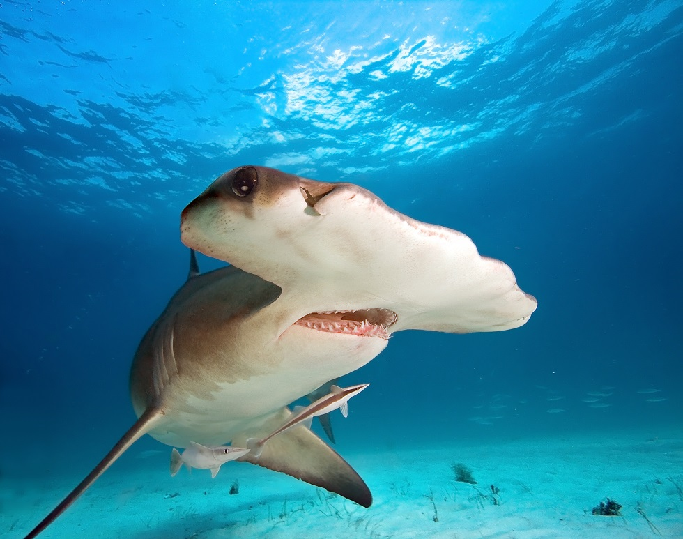 Close up of a hammerhead shark