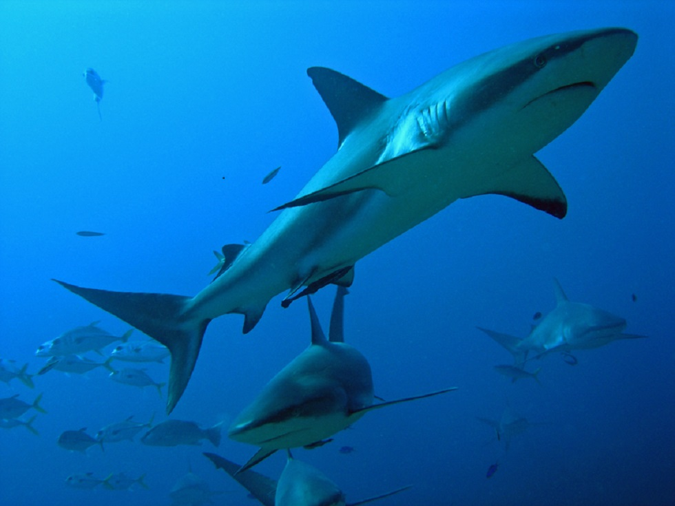 Six Reef sharks closeup