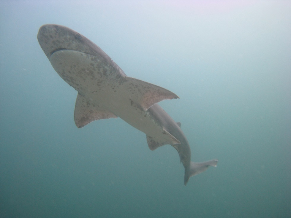 Sevengill sharks are also known as cow sharks