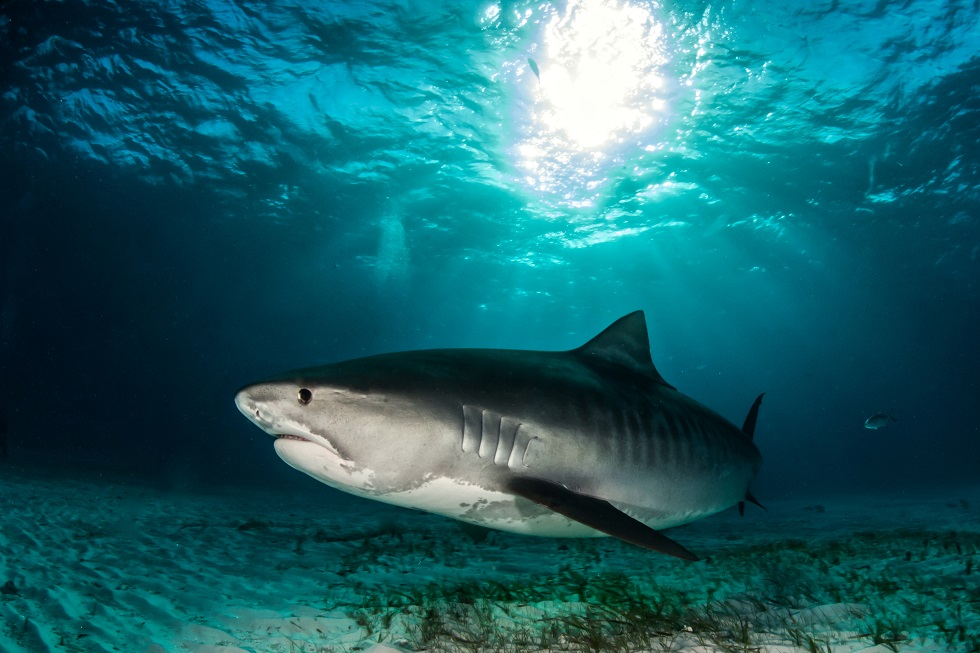 A massive tiger shark
