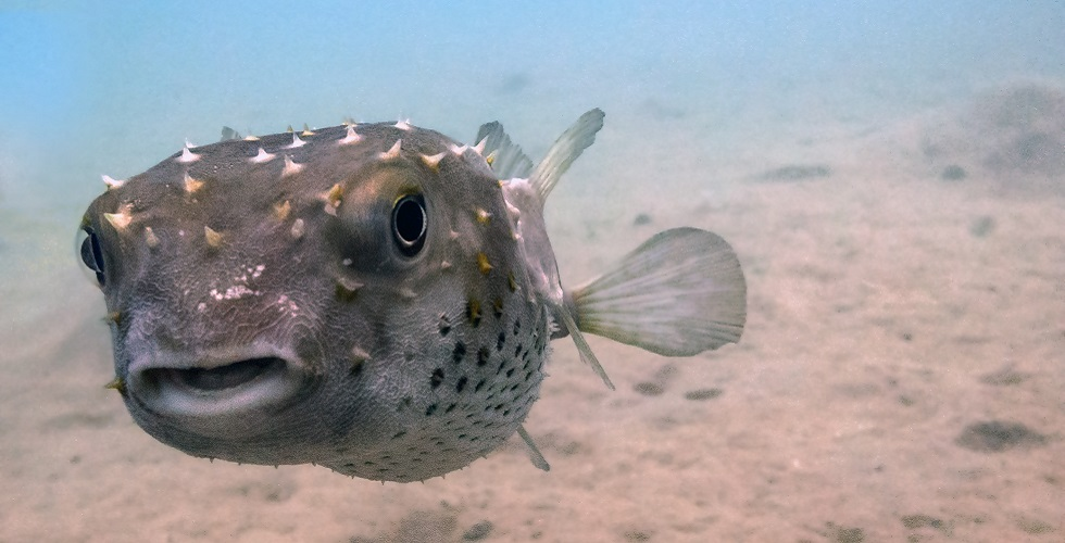 8 out of this world african scuba diving locales diviac for Amazon puffer fish