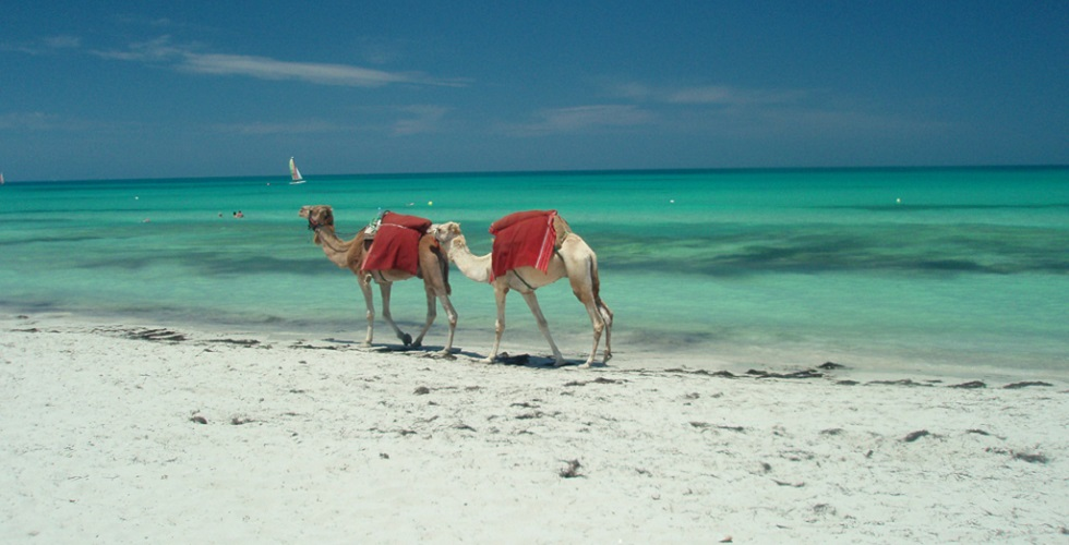 Camels on Djerba Tunisia
