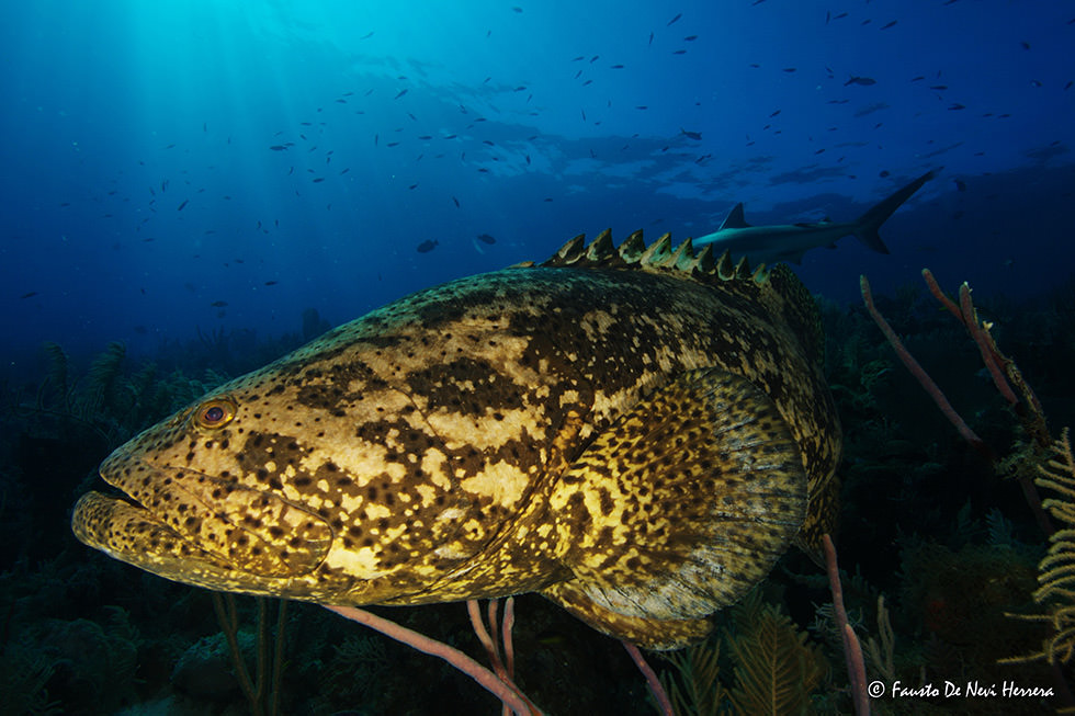 Close up of a big grouper