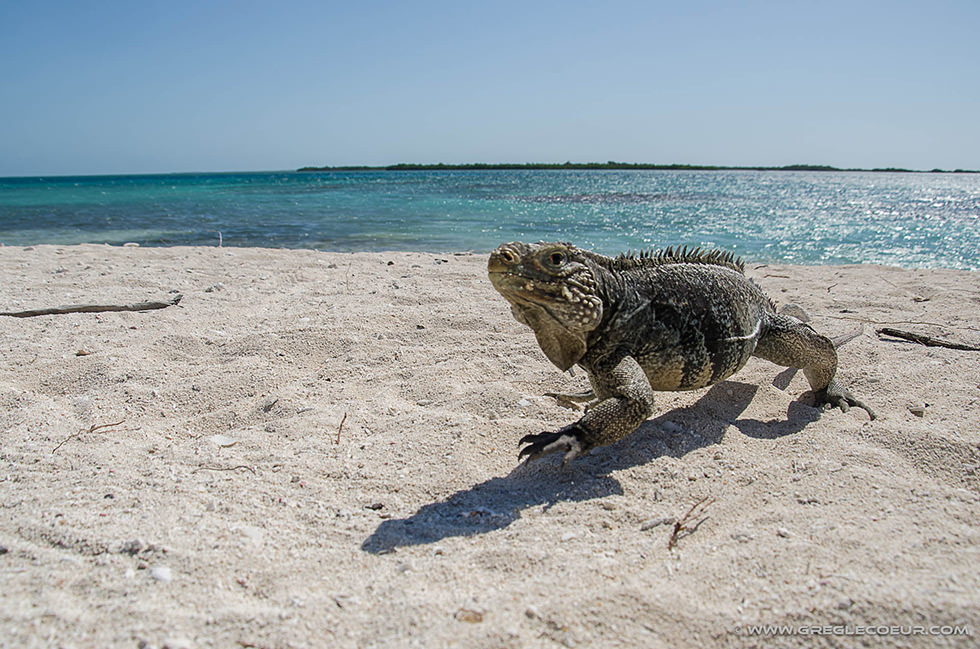 One of the iguanas living on the islands