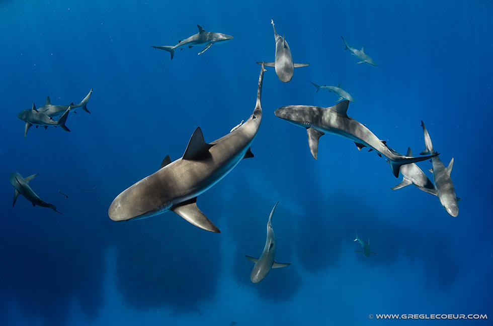 Diving with sharks at the Gardens of the Queen