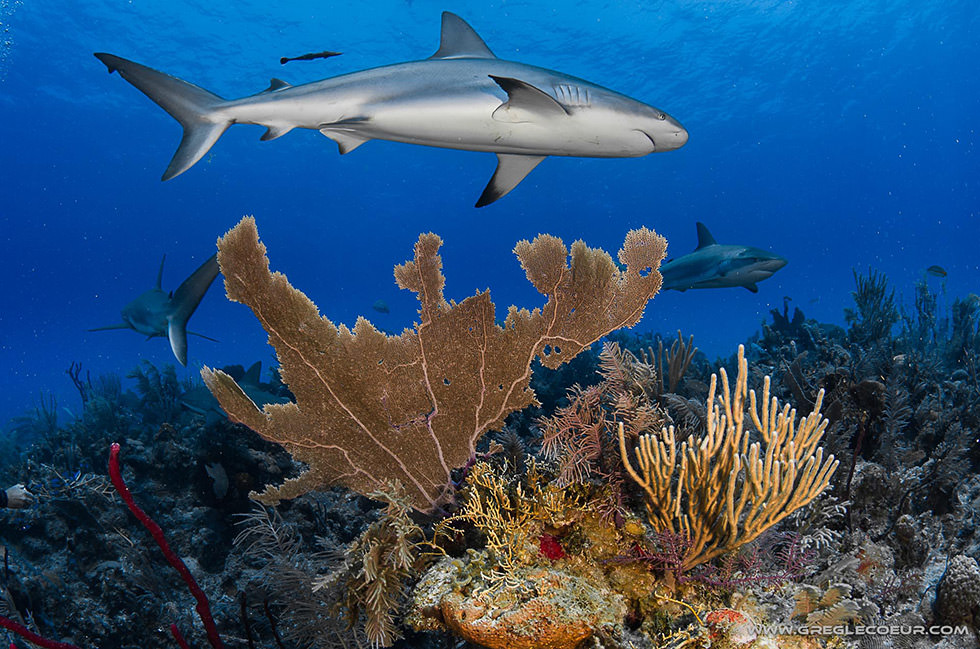 A few sharks swimming over the reef