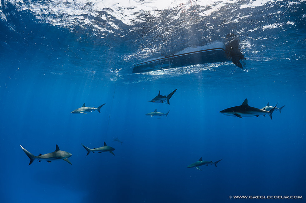 Sharks below the dive dinghy