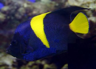 Arabian angelfish