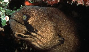 Blackcheek moray